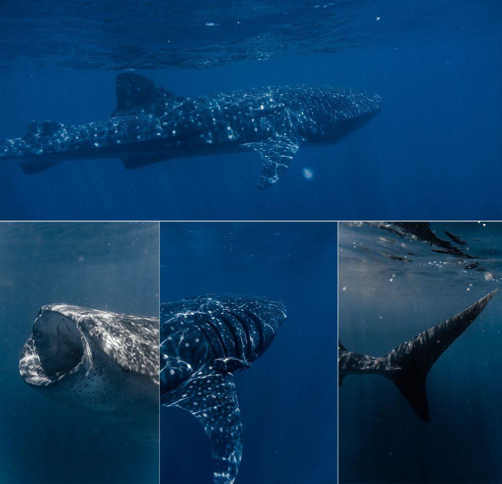 Tiburón ballena de 12 metros de largo.